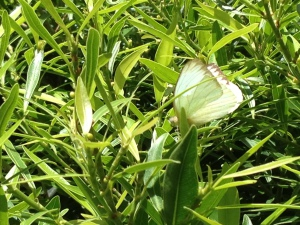 Vlinders in Central Park